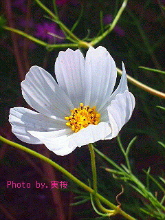 White-cosmos~2015pc.jpg