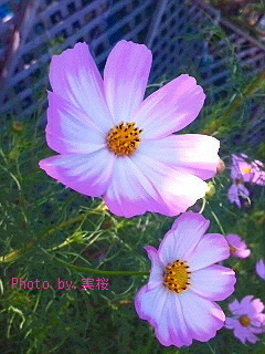gradation-cosmos-PC.jpg