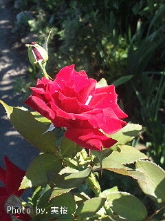 rose-Carmen~170901pc.jpg