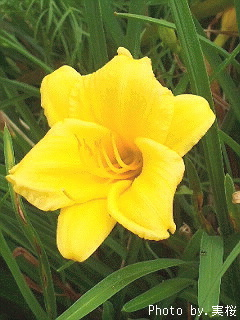 hemerocallis~2017-pc.jpg